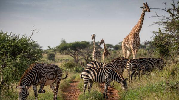 elewana-loisaba-lodo-springs-activities-wildlife-zebras-girraffesC417DB04-6F3A-B96B-CC53-D34EE73694EB.jpg