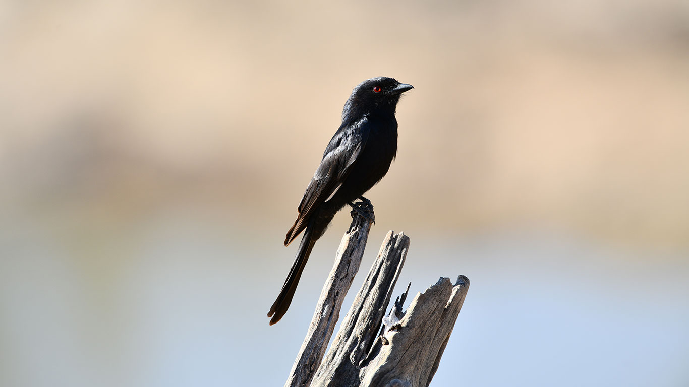Fork tailed Drongo 1 AB