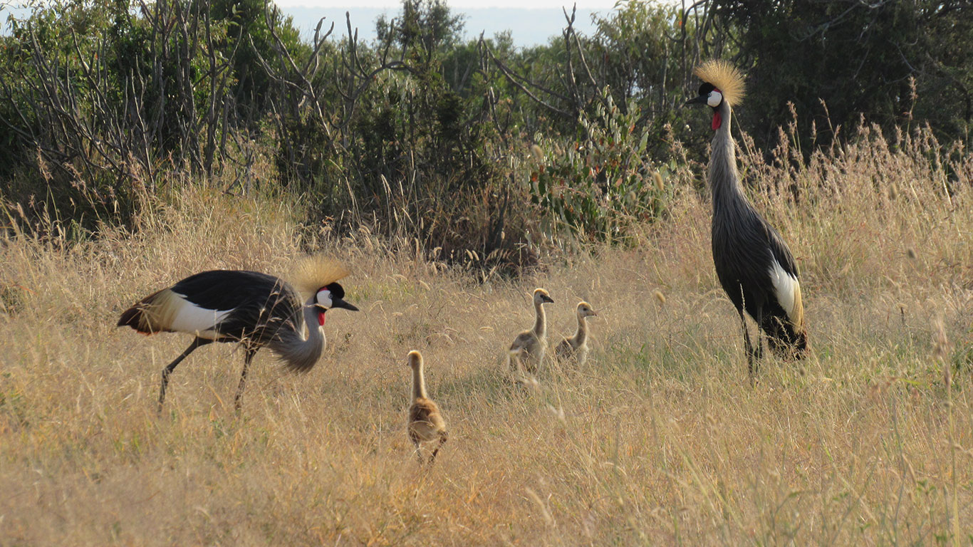 Grey Crowned Crane HC