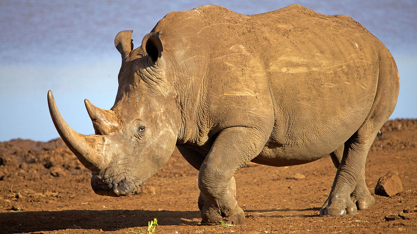 Lewa Safari Camp wildlife white rhino